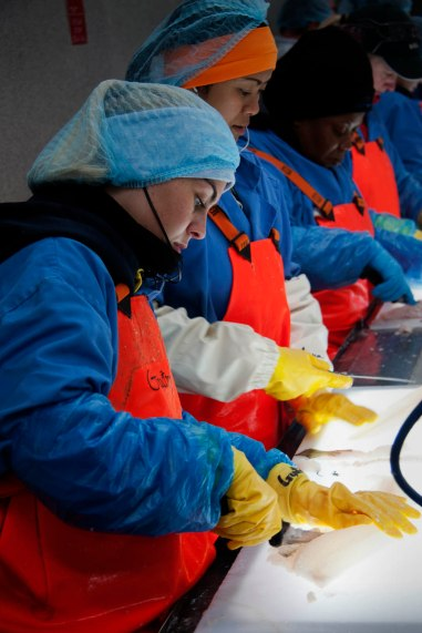 iceland, grindavik, Visir fisheries, fresh fish cleaning