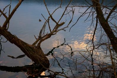 Italy, Piedmont, Avigliana lake, trees&duck